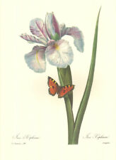 "4 Vintage Redoute Botanical Prints (10"" x 13"") - Lot 4271"