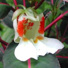 """New listing Rare """"Velvet Love"""" Impatiens morsei! - Orchid-shaped blooms and amazing leaves!"""
