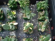 "Succulent Gasteria gracilis ""Nana"" variegated"