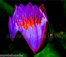 10 Purple Fire Bonsai Lotus Seeds Bowl Nelumbo Nucifera Pond Aquarium Flower NEW