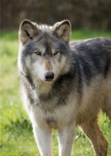 Wolf greeting card birthday note photo nature wild dog husky eyes winter mystic