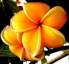 "Cutting/Grafted plumeria/Plants/""Mango"" / 10 -12 inches RARE!"