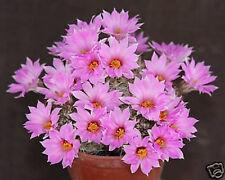 Mammillaria shumannii @J@ exotic rare flowering pincushion cactus seed 100 Seeds