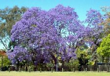 jacaranda, JACARANDA MIMOSIFOLIA, blue flowering TREE, 65 seeds! GroCo