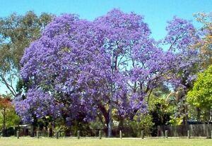jacaranda, JACARANDA MIMOSIFOLIA, blue flowering TREE, 50 seeds! GroCo