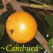 ~CAMBUCA~ Plinia edulis ~Mango Papaya combo taste~ Rare Fruit Tree Pot'd Starter