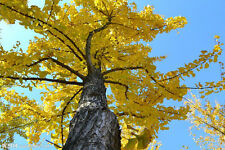 Ginkgo biloba Maidenhair Tree  Hardy,64+ seeds China Ginkgo