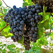 30+ FRESH Delicious Black Grape round variety seeds