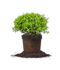 Soft Touch Holly, Live Plant, Size: 1 Gallon