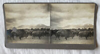 Finest Buffalo Herd – Butte Montana – N.A. Forsyth Early 1900s Stereoview Slide