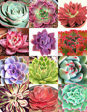 COLOR ECHEVERIA mix, rare exotic succulent HEN & CHICKS flowering seed 100 seeds