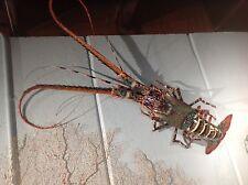 "36"" spiney lobster rock crustacean mount taxidermy replica 3'"