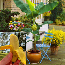 100Pcs Mini Dwarf Banana Seeds Tree Fruit Vegetables Plant Outdoor Home Plants
