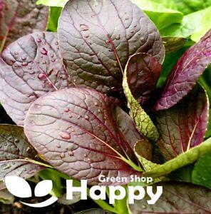 HERB - KOMATSUNA RED - 500 SEEDS - MICROGREENS - Japanese mustard spinach