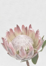 PINK PROTEA FLOWER FLORAL   * Large A3 Size QUALITY CANVAS  PRINT