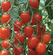 Tomato Grape 50 Fresh Seeds Super Yummy Salads Snack Hors d'oeuvres Free Ship!