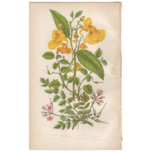 Anne Pratt antique 1860 botanical print Flowering Plants 55 Hemlock Stork's Bill