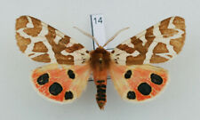 Arctiinae - Arctia martinhoneyi - male #14 - VERY RARE