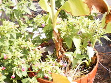 Plants in Large Container Mixed of Banana Plant, herbs for Local pick up
