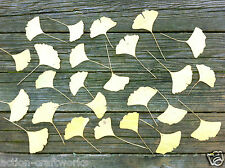Fan Shaped Pressed Leaves, Ginkgo Biloba, For Arts, Crafts and Home Decor
