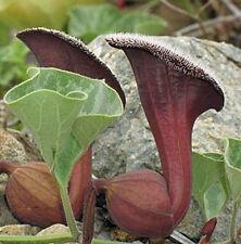 Aristolochia chilensis Oreja de Zorro 10 seeds