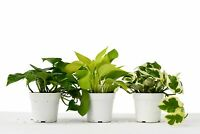 "3 Different Pothos Plants in 4"" Pots - Live House Plant - FREE Care Guide"