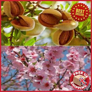Patio Sweet Almond Tree - Prunus dulcis Highly Ornamental & Fruiting Plant