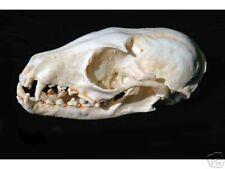 Ring-Tailed Cat skull Replica