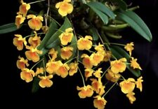 New listing Dendrobium Jenkinsii Bark Mounted Bloom size Orchid Plant