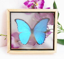 Real Blue MORPHO DIDIUS Butterfly Display Insect Taxidermy Double Glass in Frame