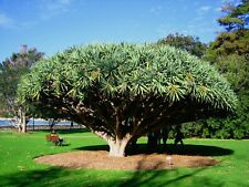 Dragon Tree Dracaena draco 15 Seeds (Free Us Shipping)