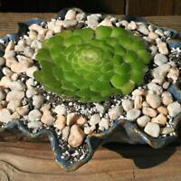 Flat-Topped Aeonium Seed Perennial Succulent Dry Living Unusual Shape