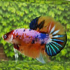 Live Betta Fish BIGGIANT PINK GALAXY MULTICOLOR HMPK Male from Indonesia Breeder