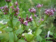 Algiersalat  - Fedia cornucopiae  -  Feldsalat für den Sommer