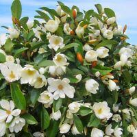 10Pcs Seeds Magnolia Michelia Flowers Tree Rare Beautiful Kinds in Home Garden