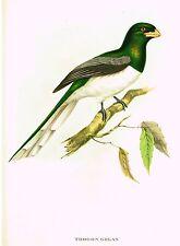 "Gould's Tropical Birds ""TROGON GIGAS"" - Colored Lithograph - 1955"