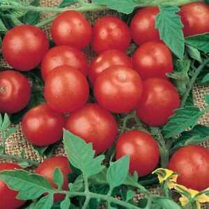 Tomato 100 Tiny Tim Seeds - UK Seller