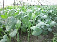 Chinese kale Vegetable seed 200 seeds Brassica alboglabra Bailey patio garden