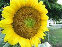 Riesen Sonnenblume 35 Samen    Helianthus Annus