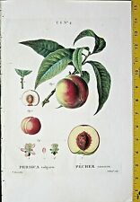 Bessa,Twig of a Peach tree with fruit&Bloom,large color engraving, ca.1810 #4