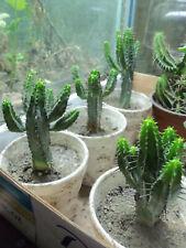 Euphorbia Enopla, live rare plant grow garden succulent cacti cactus interesting