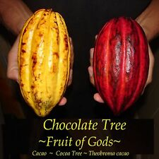~Chocolate Tree~ Theobroma Cacao CRIOLLO Cocoa XLARGE Size 3-4+ft Potted Plant