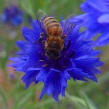 FLOWER CORNFLOWER CENTAUREA CYANUS BLUE BOY 800 FINEST SEEDS