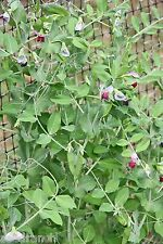 Frost Master Winter Pea Seed - 20 Lbs.