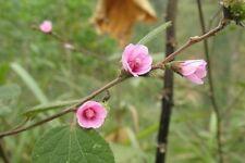 20 seeds Caesar weed, Hibiscus burr, Jute africain, Urena lobata Thai traditiona
