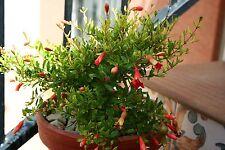 9 Semillas - Granado Enano - Punica Granatum Nana - Samen Semi Fruit Garden