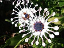50 Graines  Marguerite du Cap , African Daisy ,Osteospermum ecklonis seeds