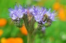 Phacelia tanacetifolia, Saatgut Gründüngung, Bienenweide, Bienenfreund