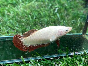 Live Betta Fish - Female - Fancy Dragon Betta HMPK , Age 4 month From Thailand