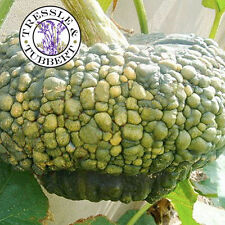 Rare Gnarled Pumpkin  - 4 seeds - UK SELLER